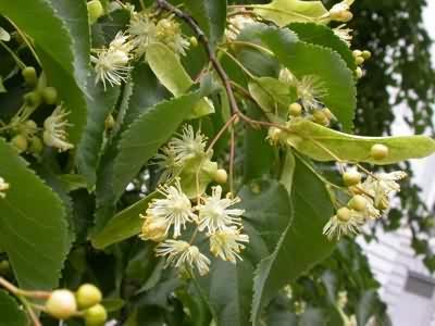 Lime-Tree-4