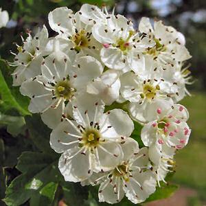 hawthorn_blossom