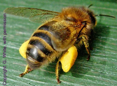 History of Bees | Galway Beekeepers
