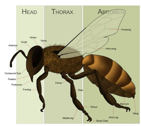 anatomy and physiology bee sting Anatomy & physiology i worksheet i plasma membrane and cellular transport  + all anatomy essays: homeostatic  group 1 bee sting final.